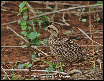 Crested Francolin chick
